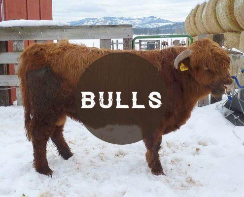 Cattle Sales: Bulls