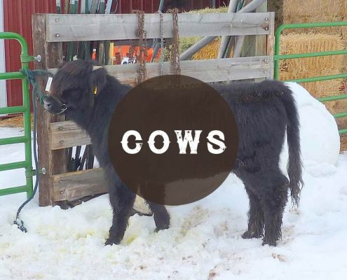 Cattle Sales: Cows